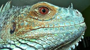 iguanaspr